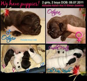 Frenchbulldogpuppies