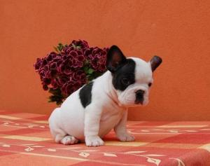 FrenchBulldogpuppiesforavailable