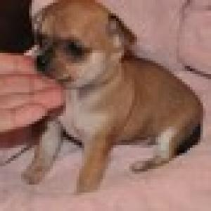 chihuahuapuppyforadoption