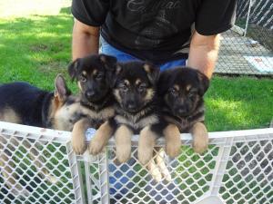 Germanshepherdpuppies