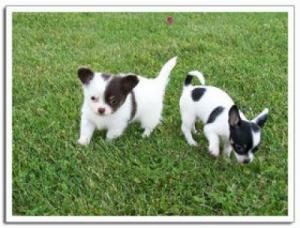 Chihuahua-Melina-Small-Young-Female