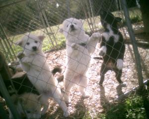 wolfhybridhuskypuppies