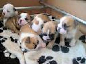 bulldogpuppiesforsale