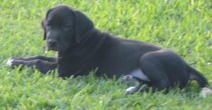 AKCregisteredGreatDanePuppies