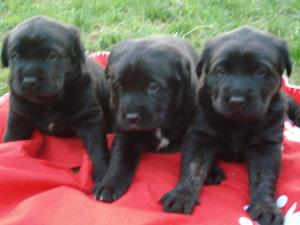 Blacklabpuppies