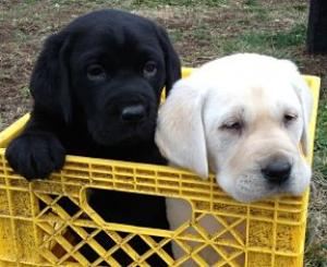 Puppies In Kansas Lab For Sale