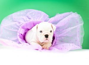 EnglishBulldogPuppies