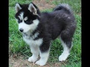 SiberianHuskyPuppiesAvailable
