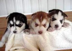huskypuppiesforadoption