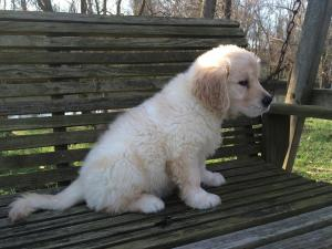 GoldenRetrieverfemalePuppyAvailable