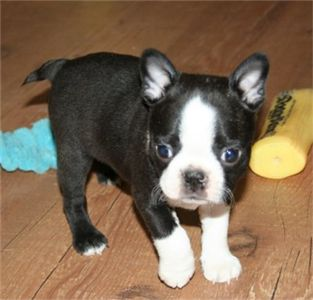 CuteBostonterrierpuppiesforsale