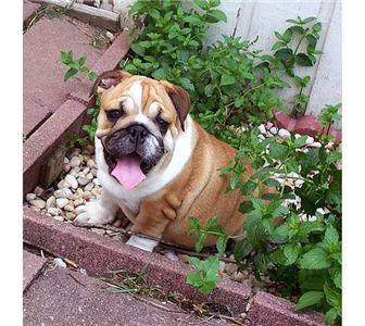 Adorablebulldogpupps