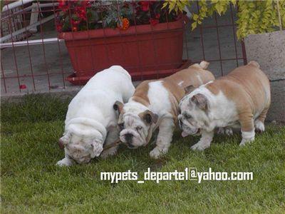 cuteenglishbulldogpuppies