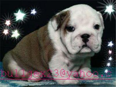 lovelyenglishbulldogpuppiesforadoption