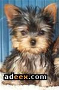 adorableteacupyorkiepuppiesforfreeadoption