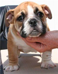adorableenglishbulldogpuppiesforfreeadoption