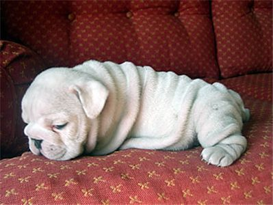 cutebulldogforsale