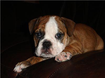 GorgeousFemaleEnglishBulldogPuppy