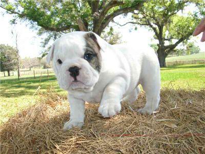 affectionatebulldogpuppy